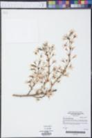 Image of Prunus spachiana
