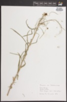 Turritis glabra image