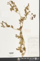 Solanum lyratum image