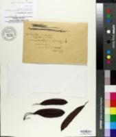 Cercis siliquastrum image