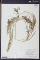 Image of Lycopodium casuarinoides