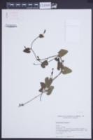 Aristolochia baetica image