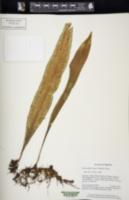 Image of Microsorum zippelii