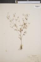 Image of Croton ellipticus