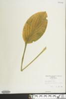 Image of Hosta erromena