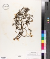 Image of Phoradendron hawksworthii