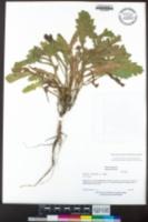 Laennecia coulteri image