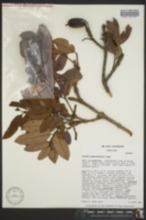 Image of Alfaroa guanacastensis