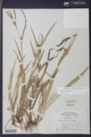 Carex pigra image