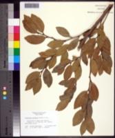 Image of Distylium racemosum