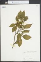 Cornus paniculata image