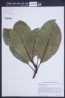 Image of Magnolia dodecapetala