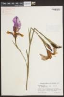 Iris ensata image