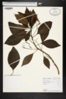 Image of Gesneria ventricosa