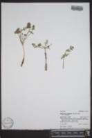 Cymopterus acaulis image