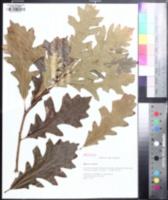 Quercus × jackiana image