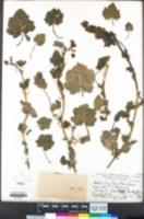 Modiola caroliniana image