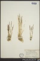 Agrostis rossiae image