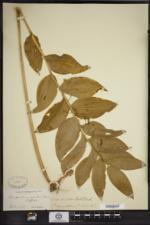 Polygonatum biflorum var. commutatum image