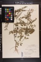 Phyllanthus nummulariifolius image