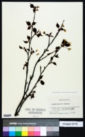 Image of Prunus nipponica