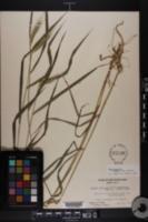 Elymus villosus image