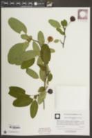 Malus angustifolia image