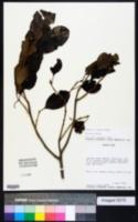 Pisonia albida image