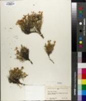 Phlox aculeata image