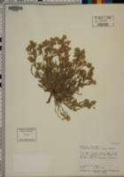 Cryptantha mensana image