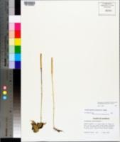 Pseudolycopodiella caroliniana image