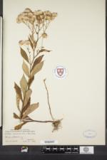 Oclemena acuminata image