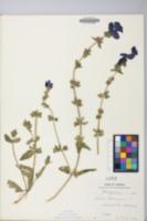 Image of Salvia horminum