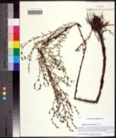 Image of Hypericum harperi