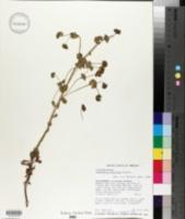 Euphorbia crenulata image