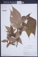 Image of Boehmeria ramiflora