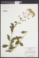 Stevia rebaudiana image