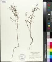 Image of Hedyotis longifolia