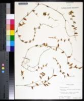 Callisia repens image