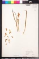 Alpinia galanga image
