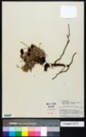 Image of Eriogonum multiceps