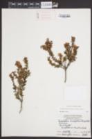 Leiophyllum buxifolium image