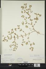 Euphorbia vermiculata image