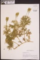 Lycopodium digitatum image