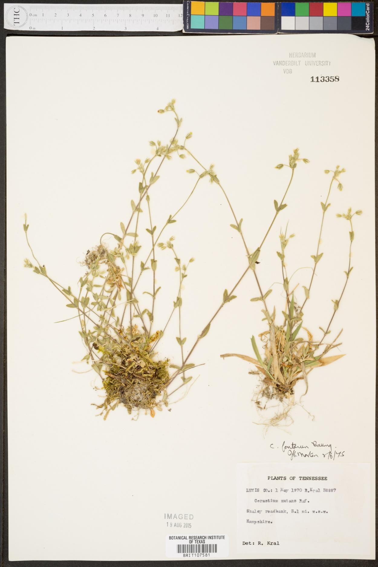 Cerastium lanatum image