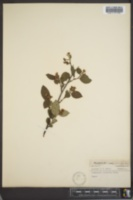 Cotoneaster acutifolius image