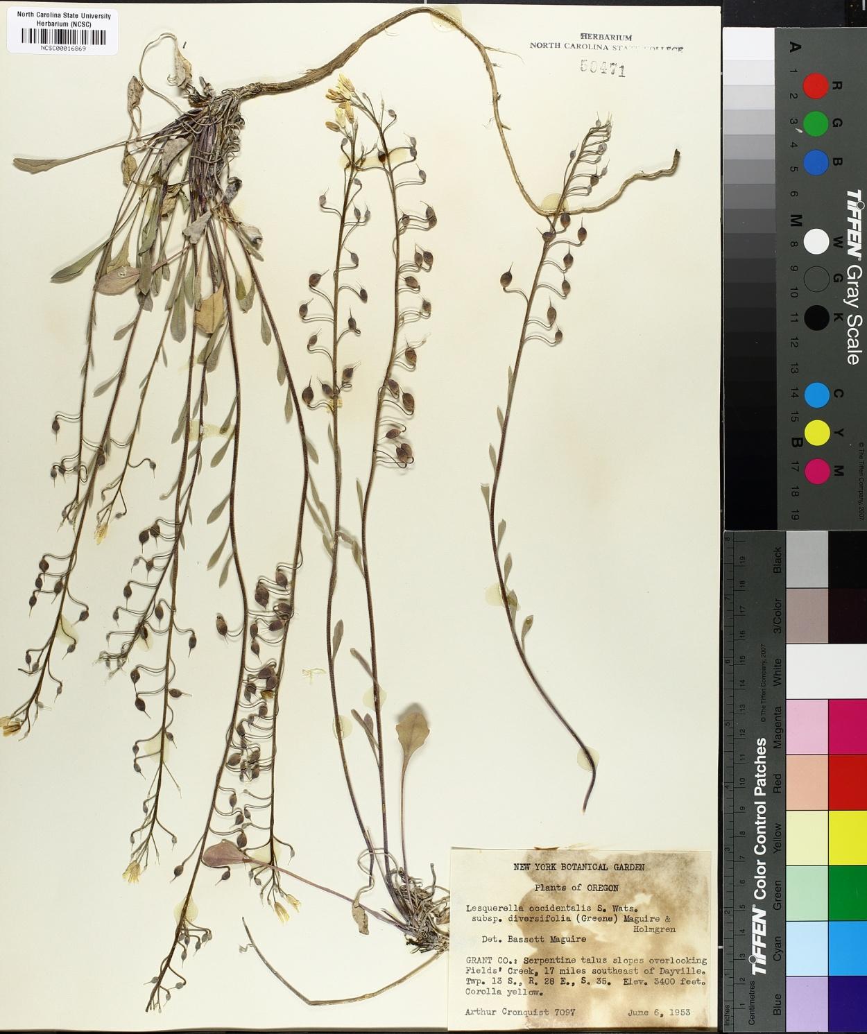 Lesquerella occidentalis subsp. diversifolia image