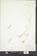 Image of Bromus lepidus