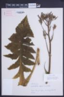 Image of Lactuca plumieri