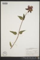 Monarda bartlettii image